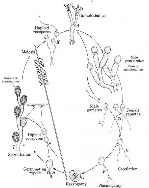chytrid fungi online